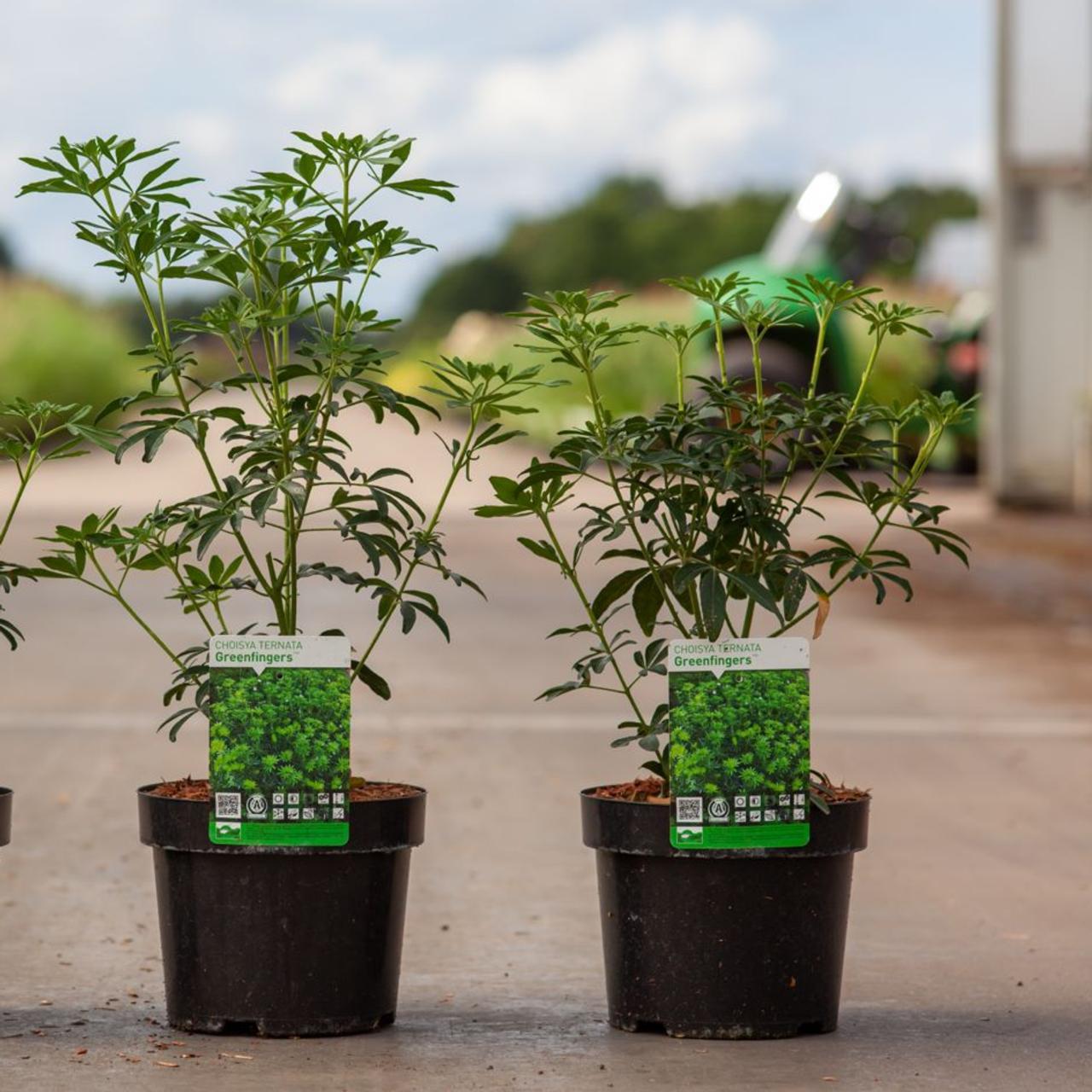 Choisya ternata 'Greenfingers' plant