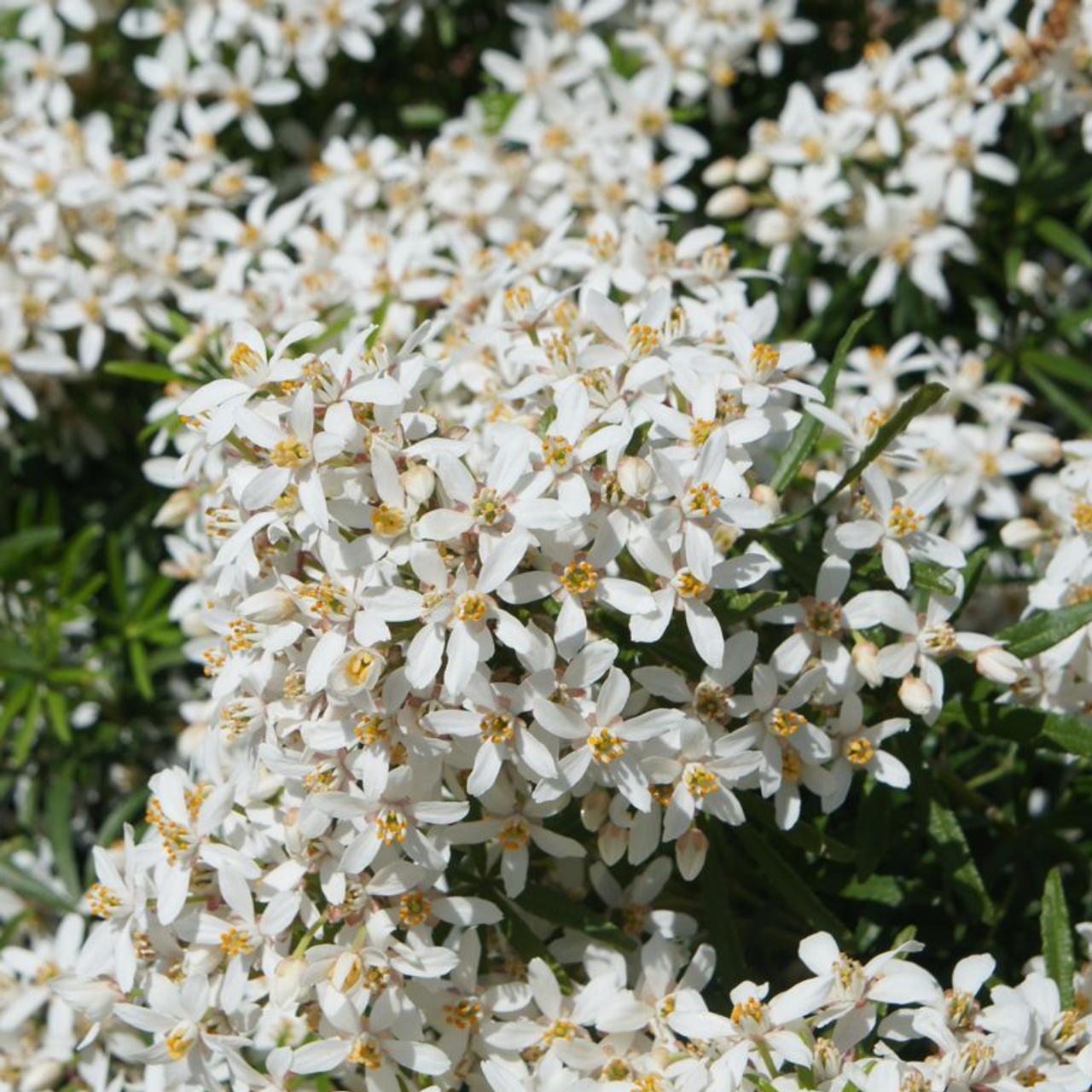 Choisya ternata 'White Dazzler' plant