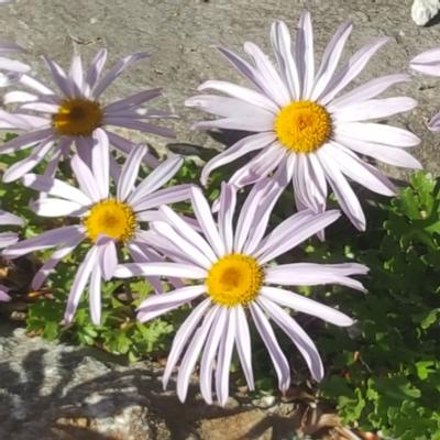 chrysanthemum-weyrichii