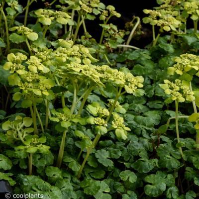chrysosplenium-alternifolium