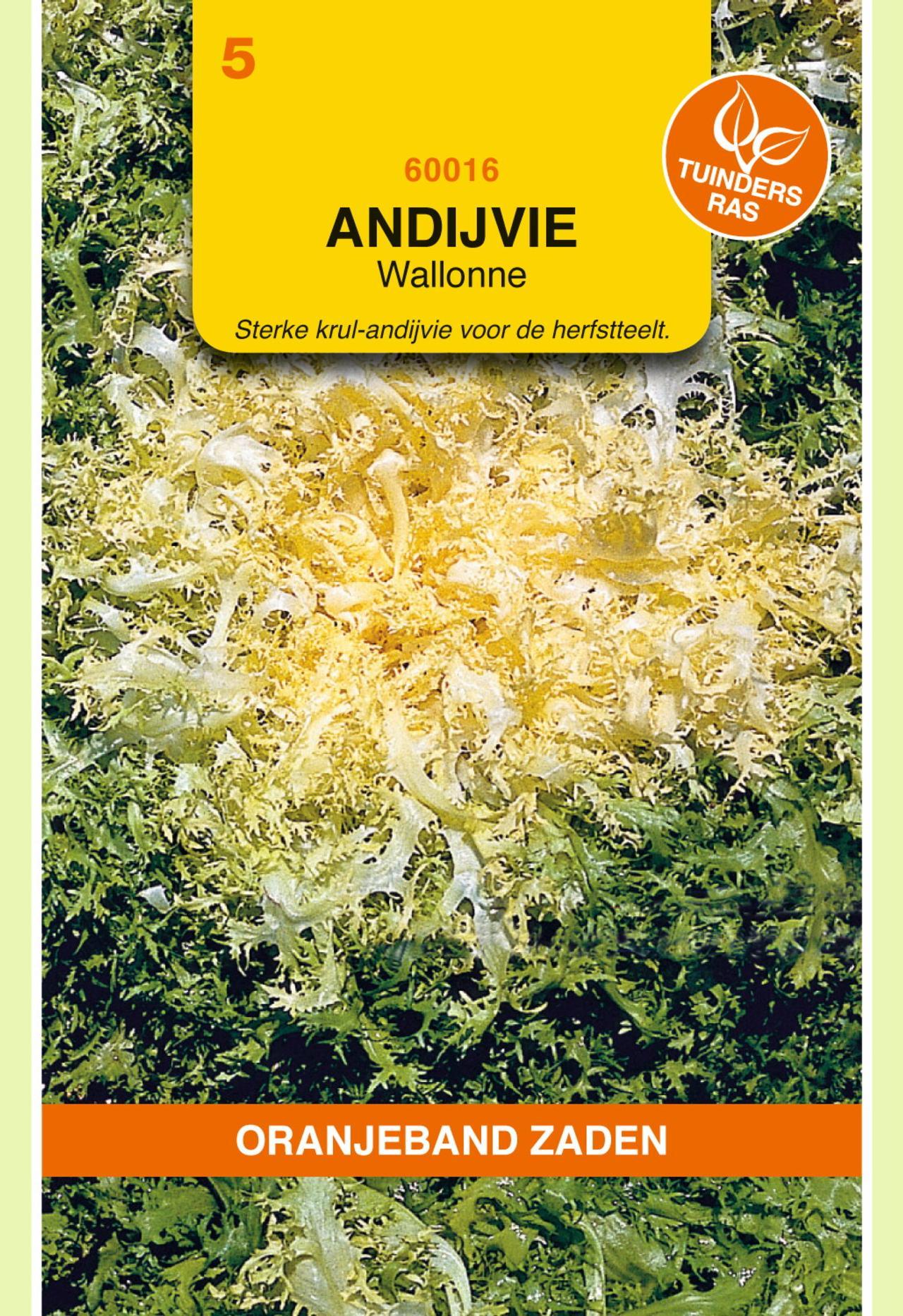 Cichorium endivia 'Wallonne Despa' plant