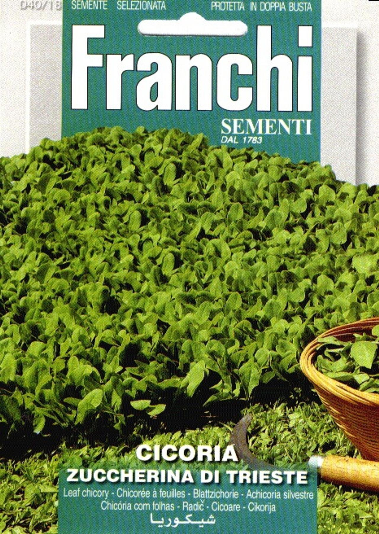 Cichorium intybus 'Di Trieste' plant