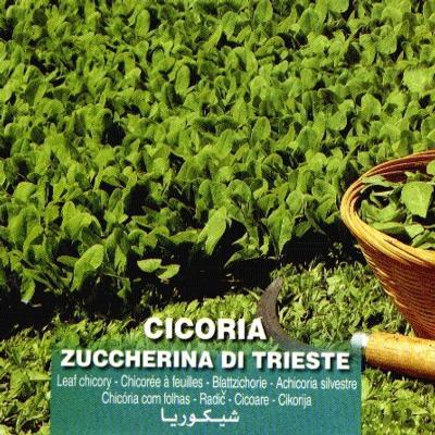 cichorium-intybus-di-trieste