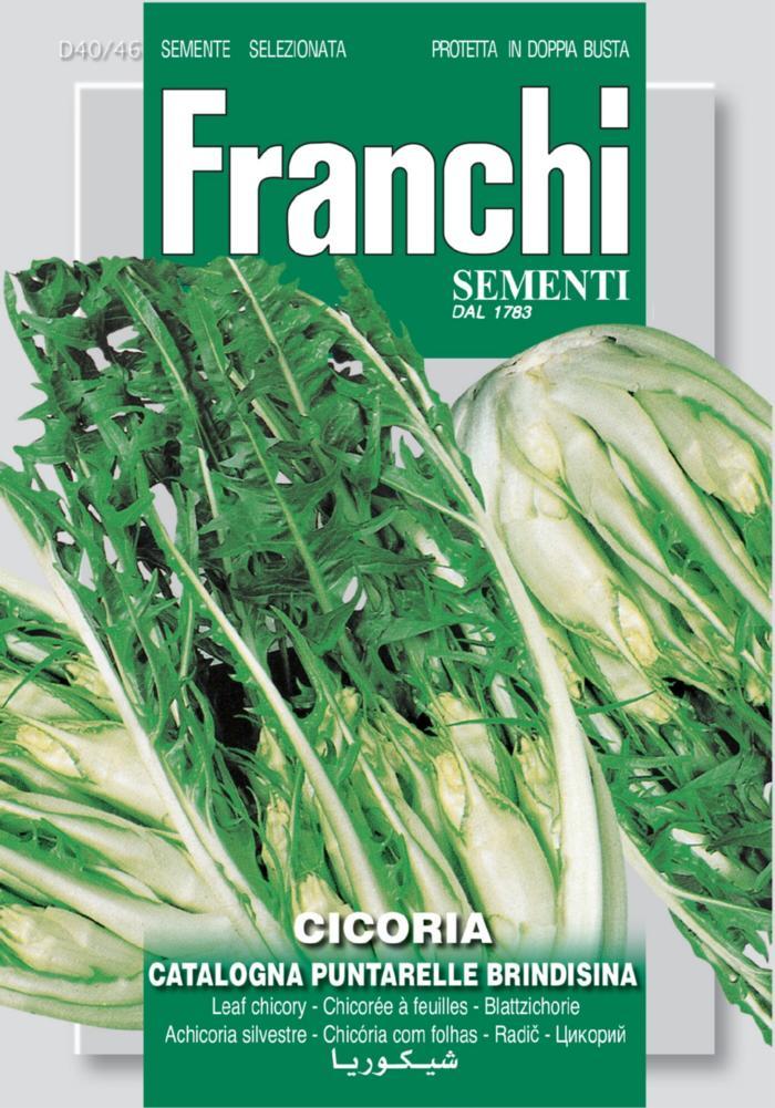 Cichorium intybus 'Puntarella Brindisina' plant