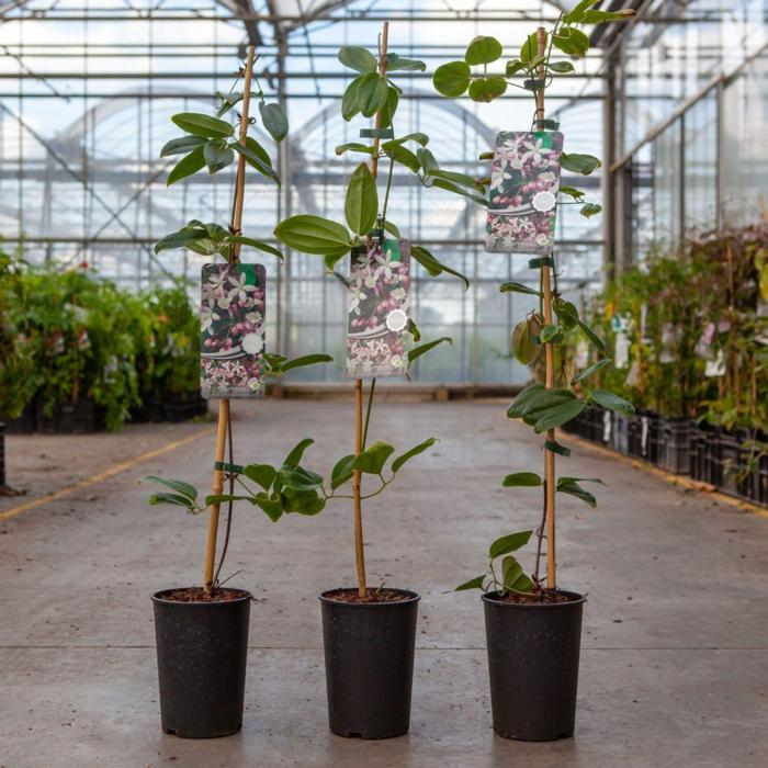 Clematis armandii 'Apple Blossom' plant