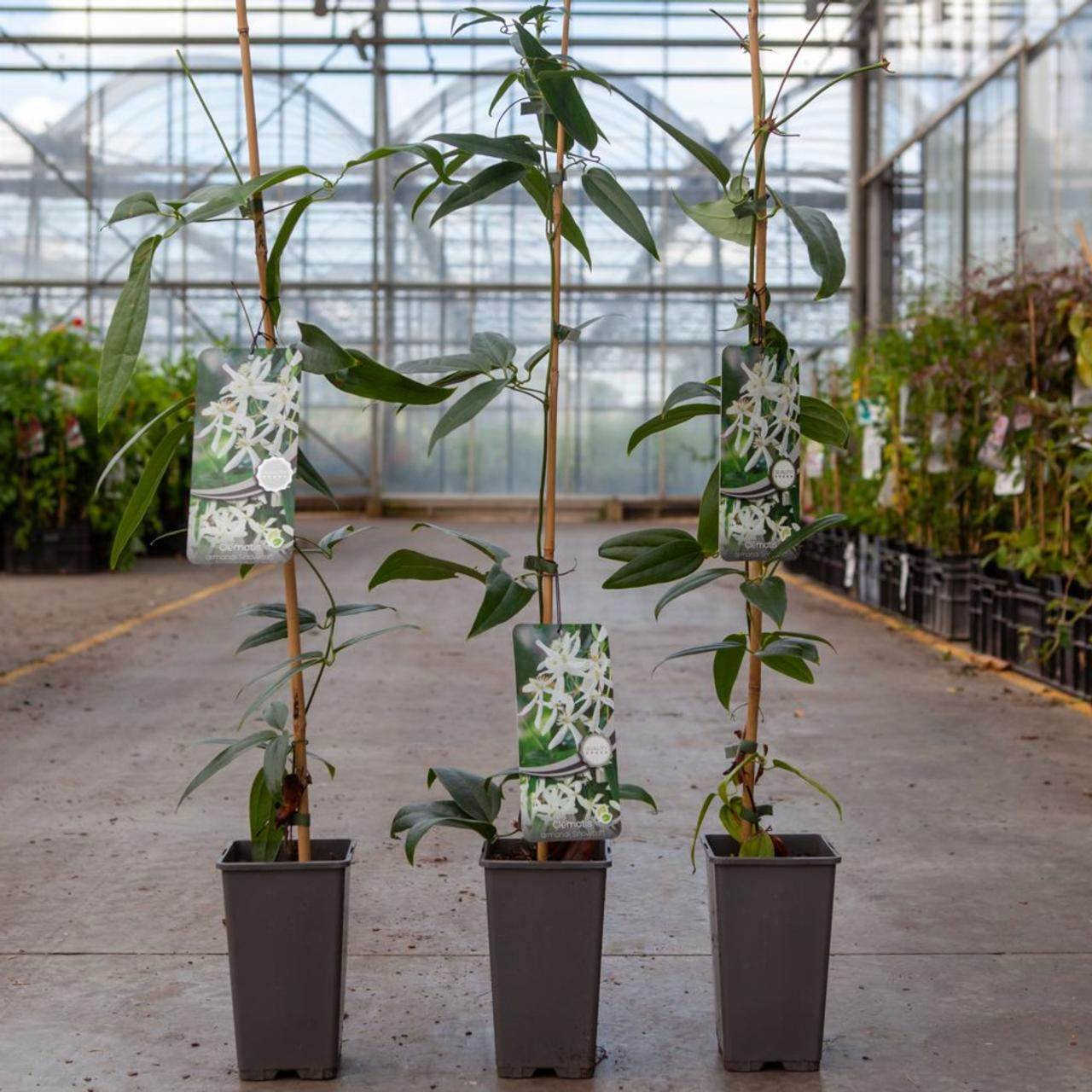Clematis armandii 'Snowdrift' plant