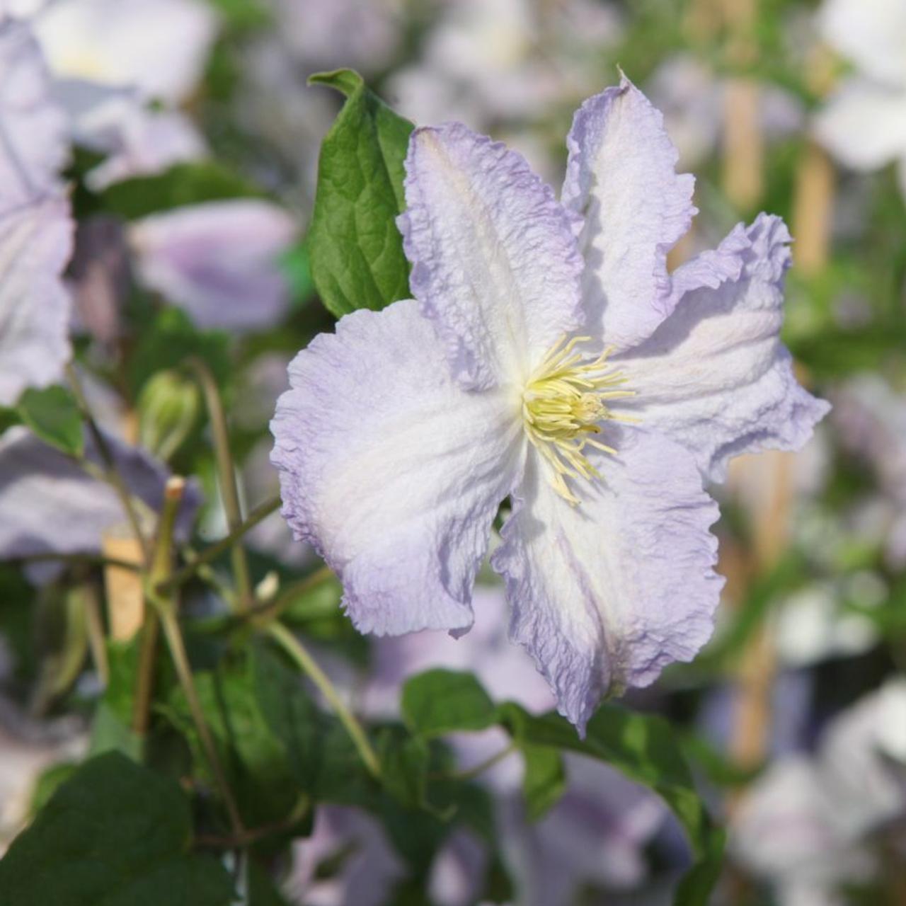Clematis 'Blekitny aniol' plant