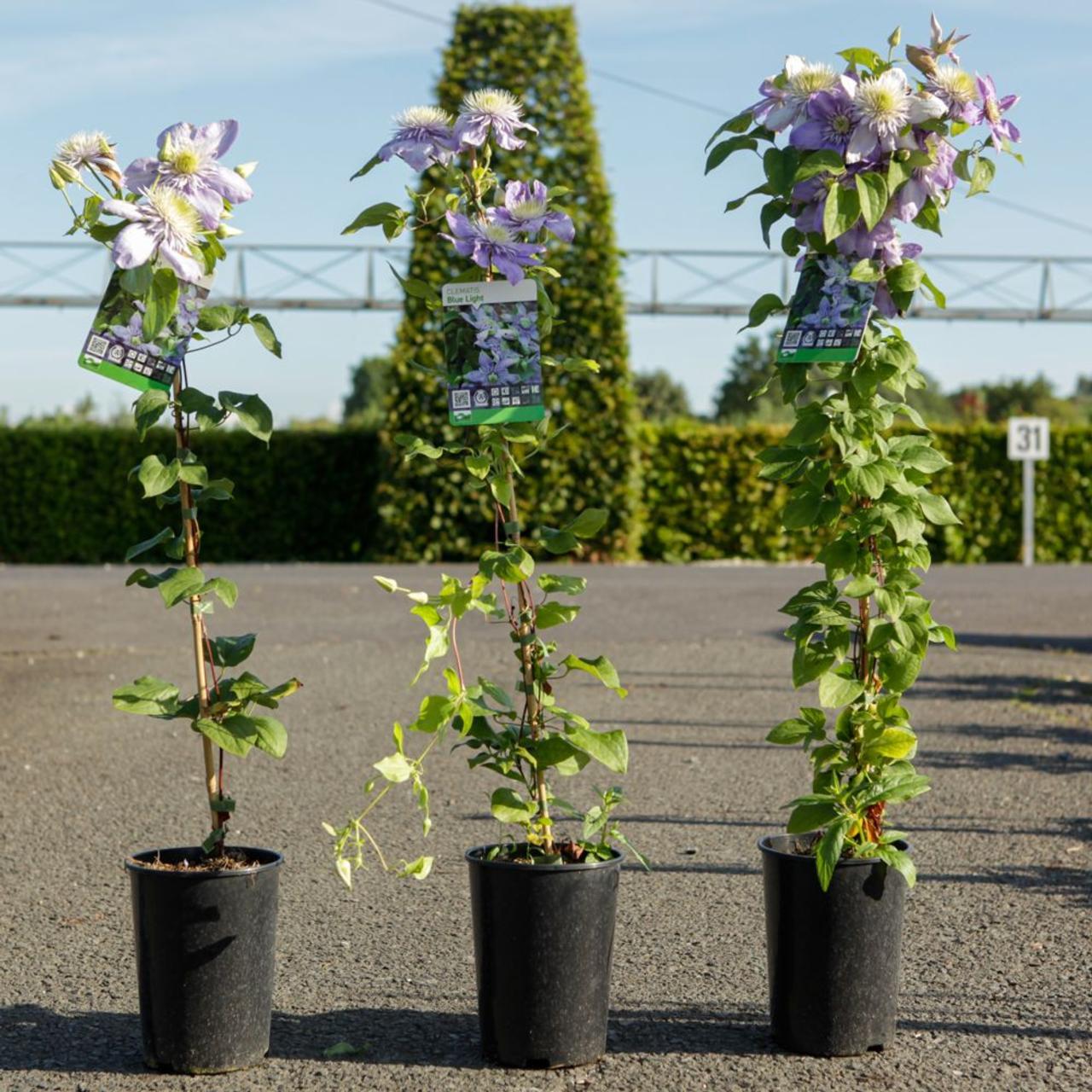 Clematis 'Blue Light' plant
