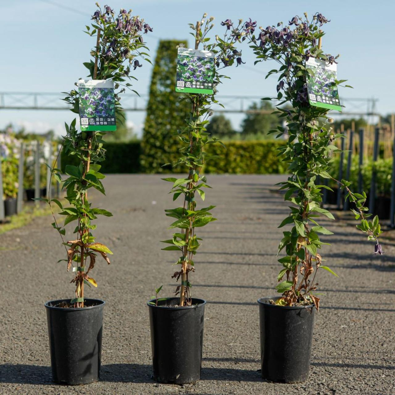 Clematis 'Fascination' plant