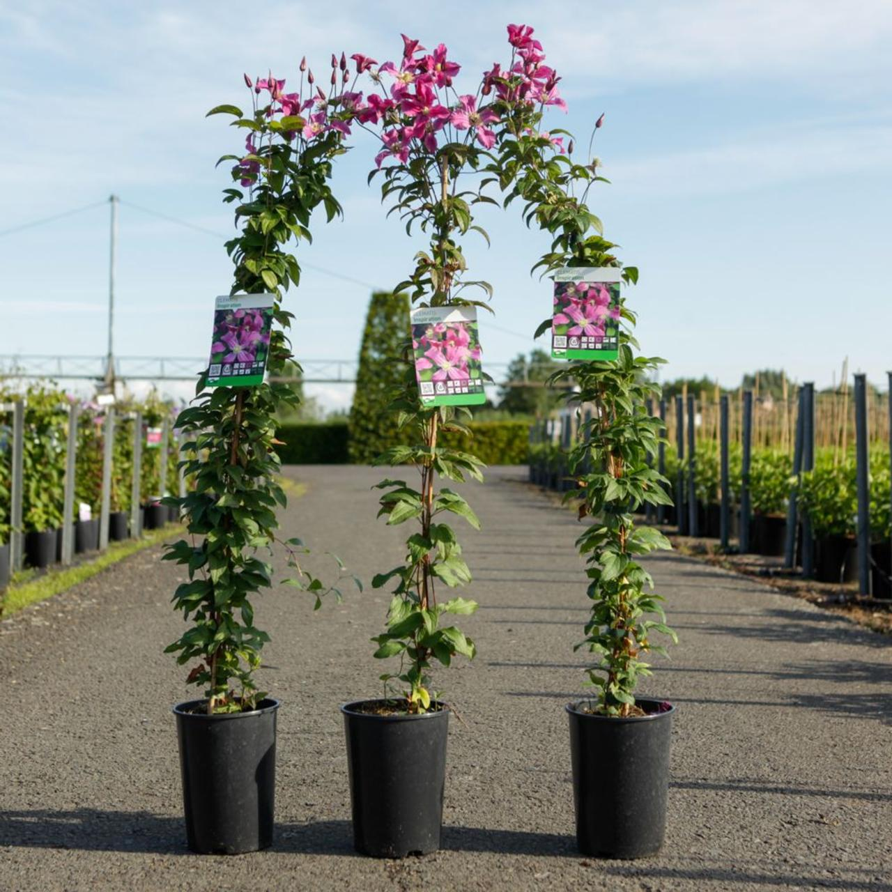 Clematis 'Inspiration' plant