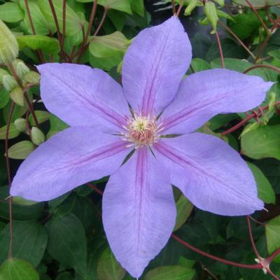 clematis-lawsoniana