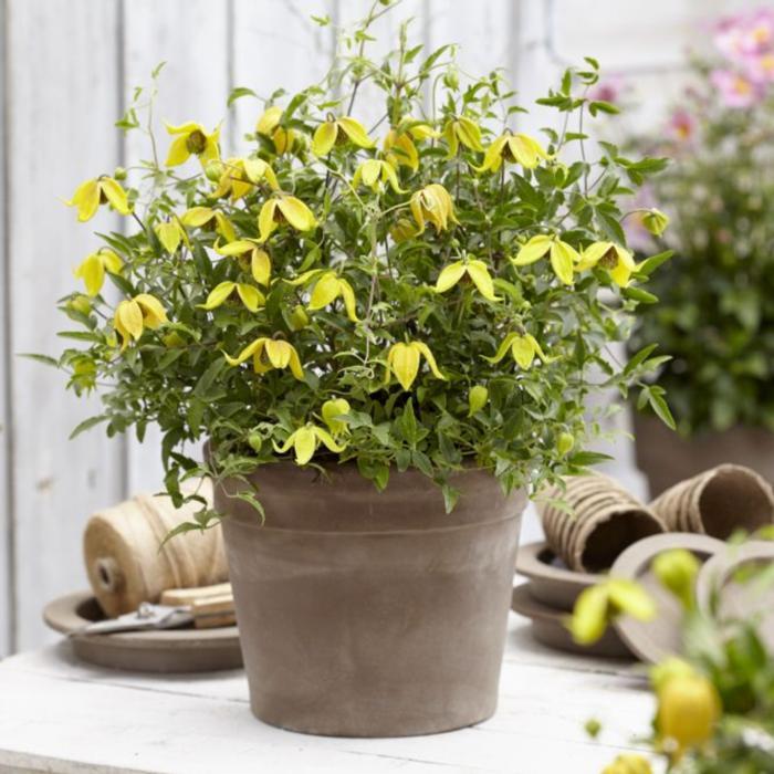 Clematis 'Little Lemons' plant