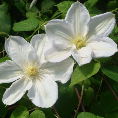 clematis-madame-le-coultre