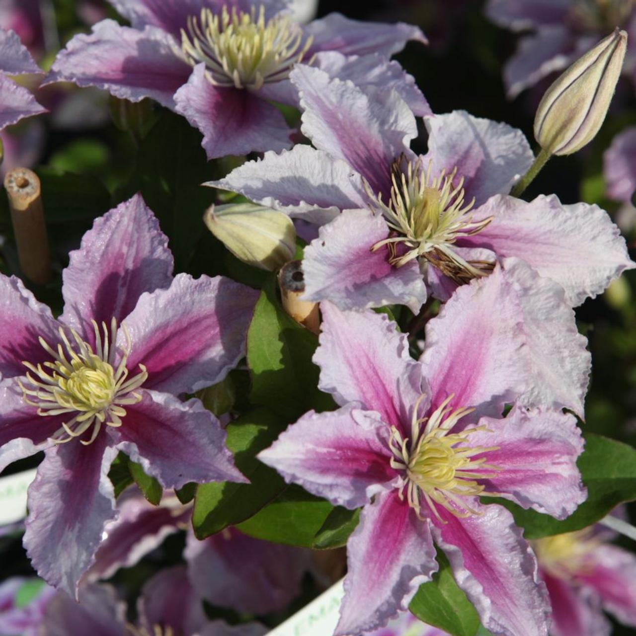 Clematis 'Piilu' plant
