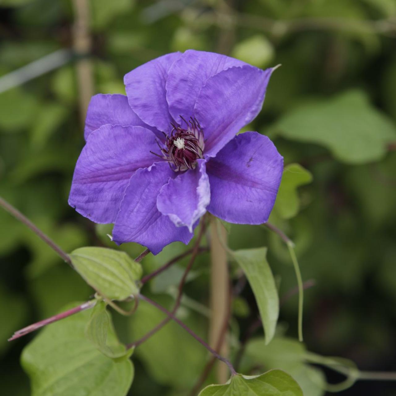 Clematis 'Ramona' plant