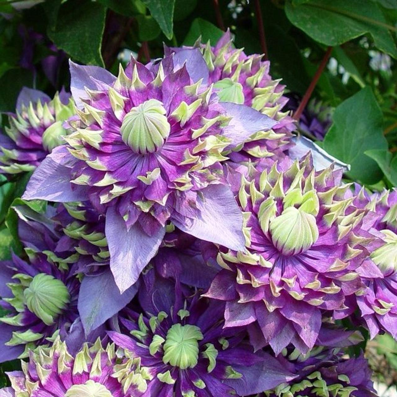 Clematis 'Taiga' plant