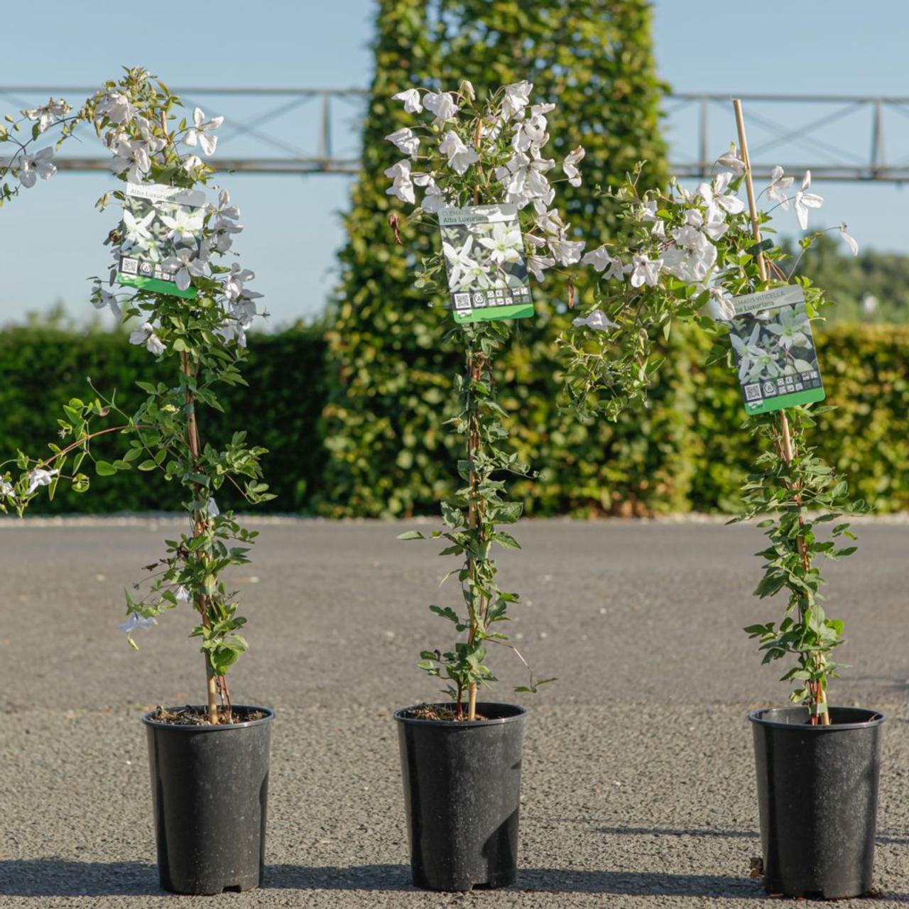 Clematis vitic. 'Alba Luxurians' plant