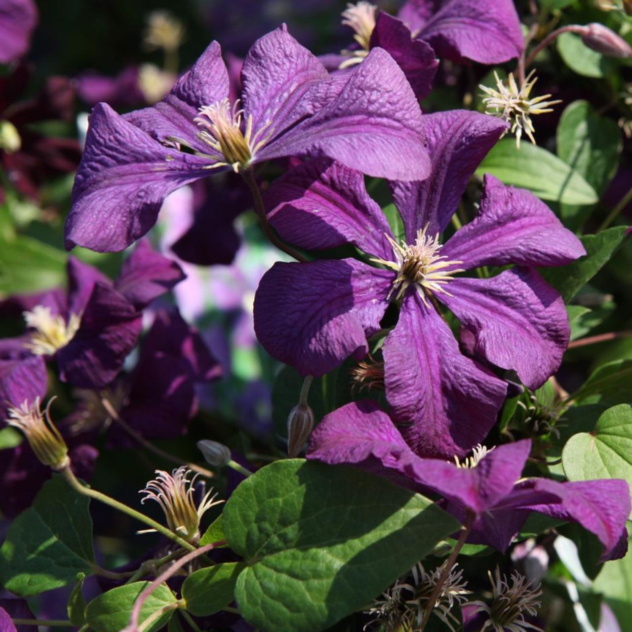 Clematis viticela 'Etoile Violette' plant