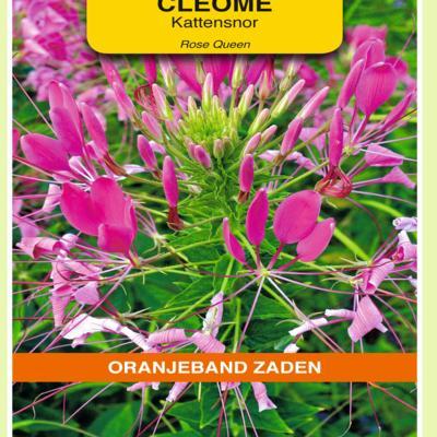 cleome-hassleriana