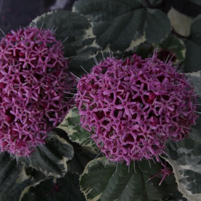 clerodendrum-bungei-pink-diamond