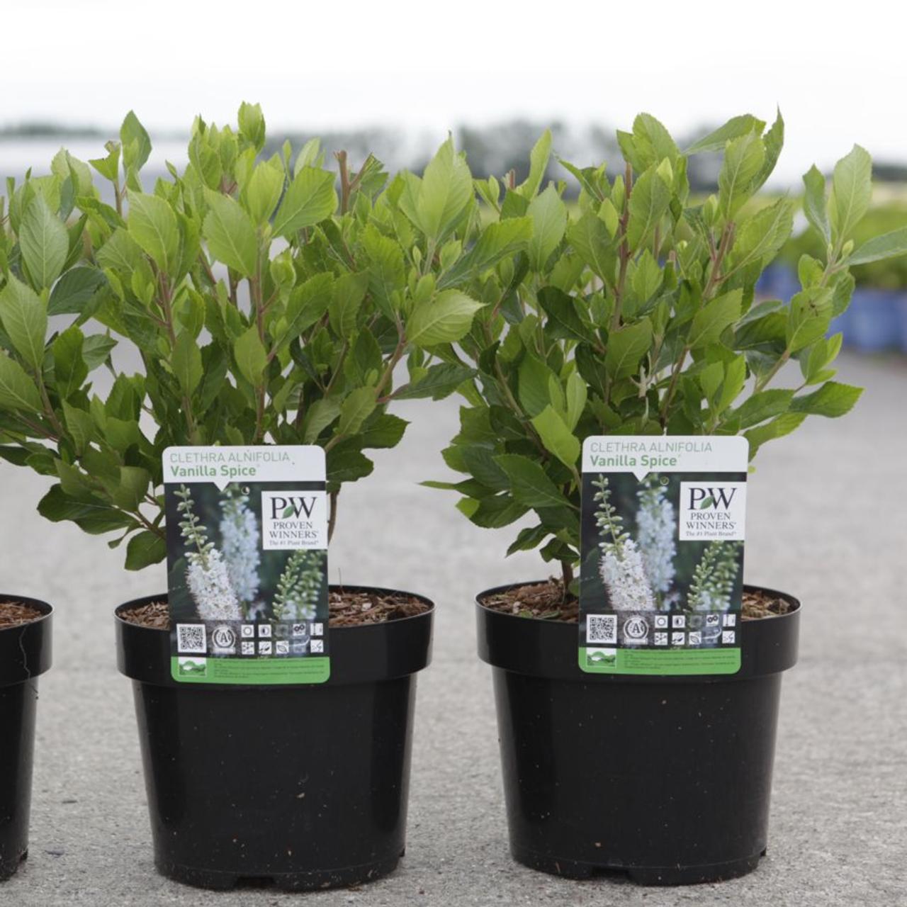 Clethra alnifolia 'Vanilla Spice' plant