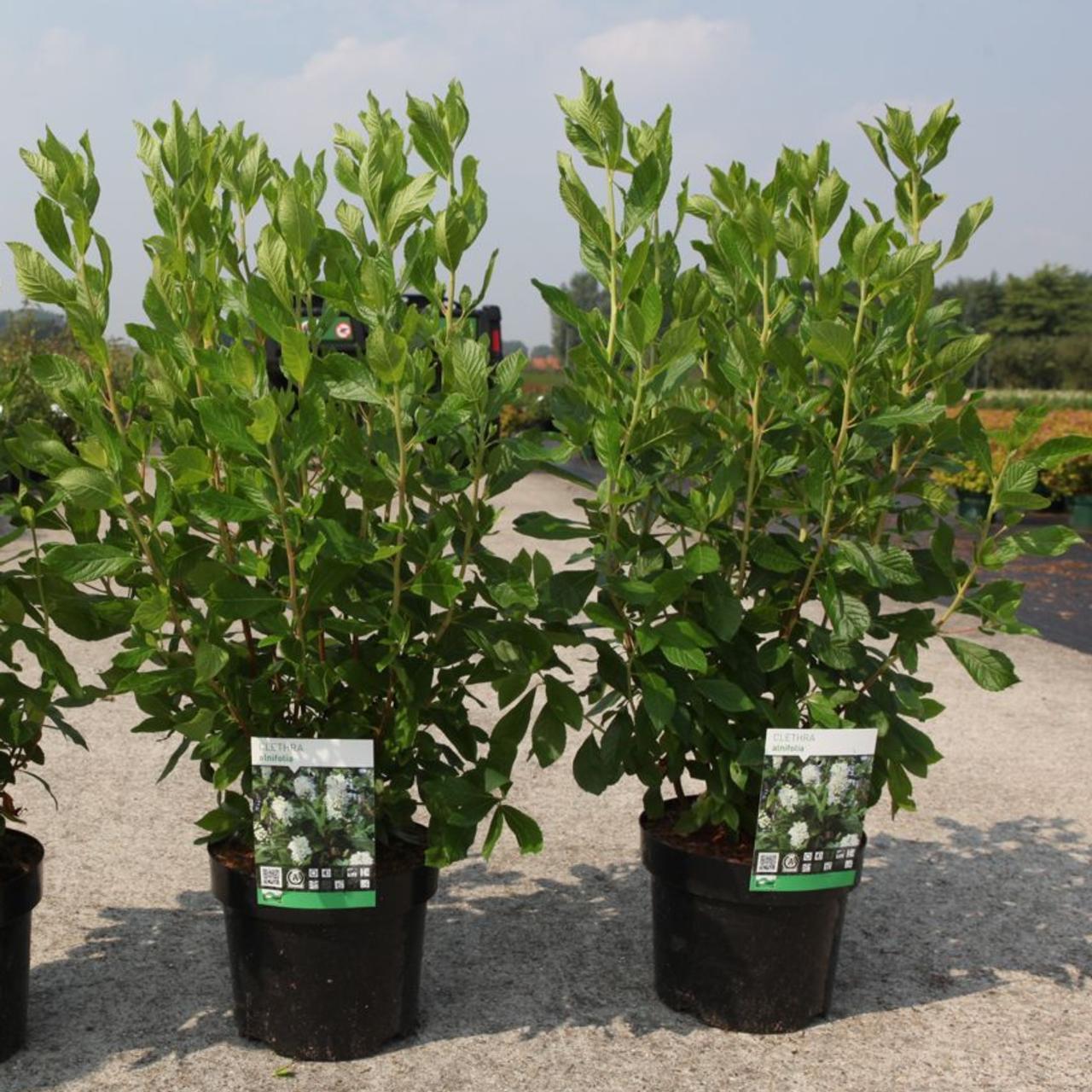 Clethra alnifolia plant