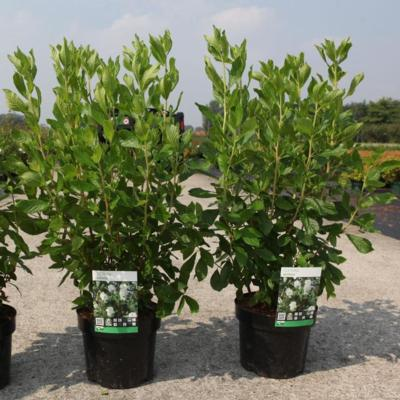 clethra-alnifolia