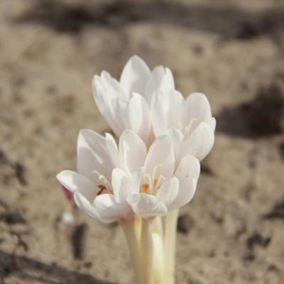 colchicum-autumnale-alba