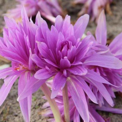 colchicum-autumnale-waterlily
