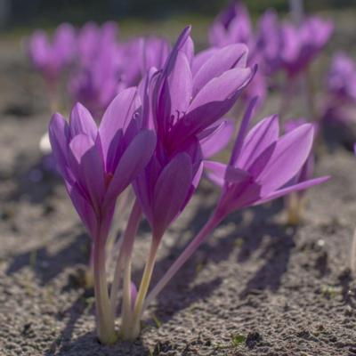 colchicum-lilac-wonder