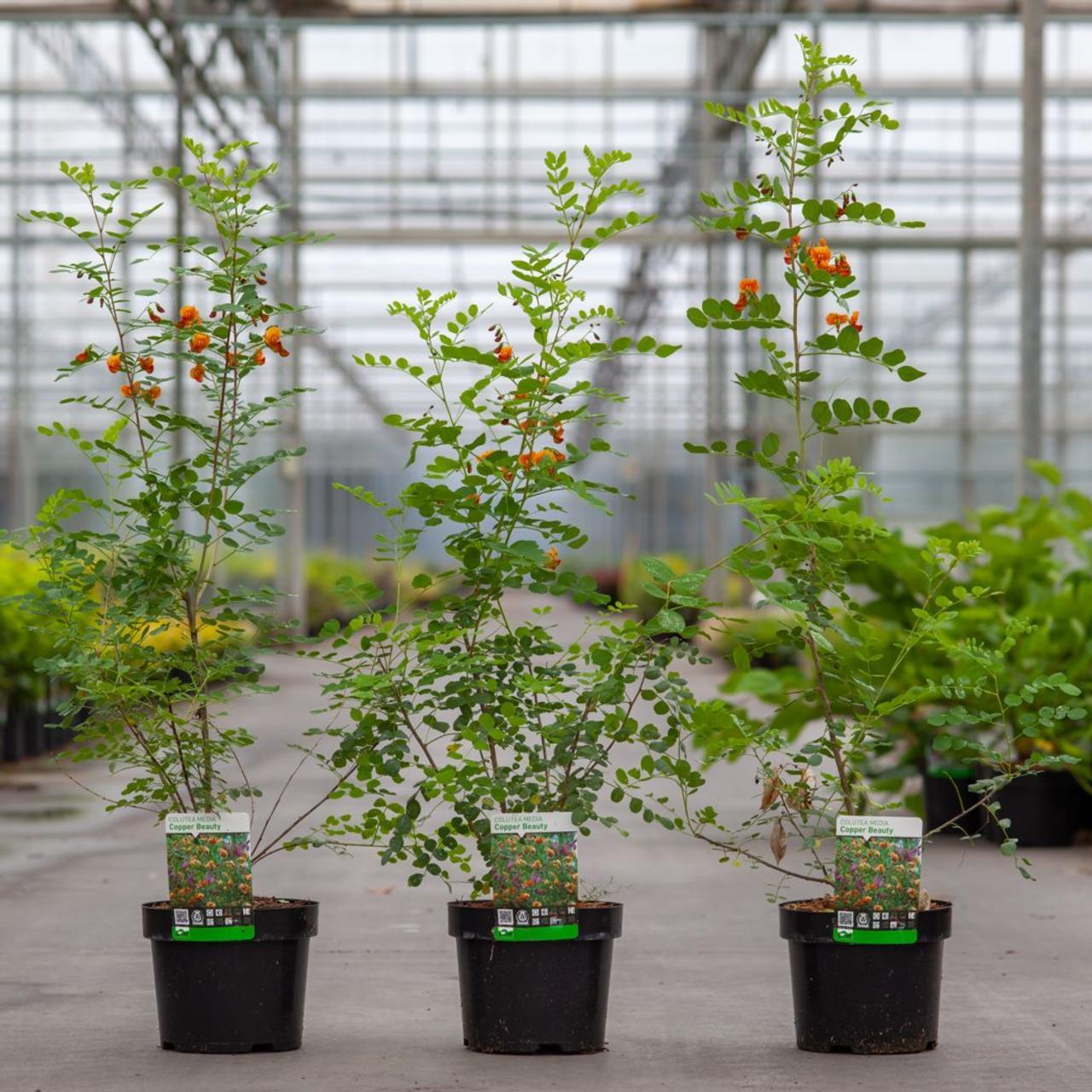 Colutea media 'Copper Beauty' plant