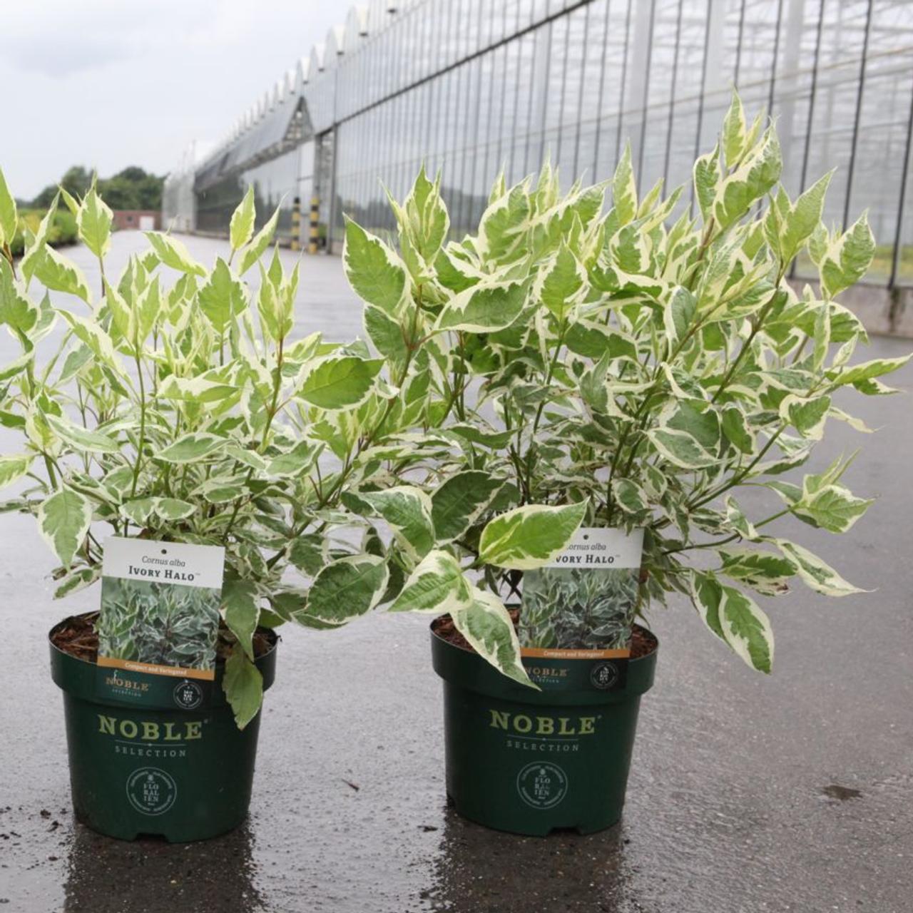 Cornus alba 'Ivory Halo' plant