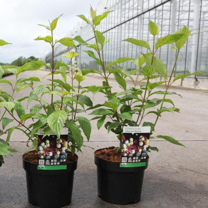 Cornus alba 'Siberian Pearls' plant