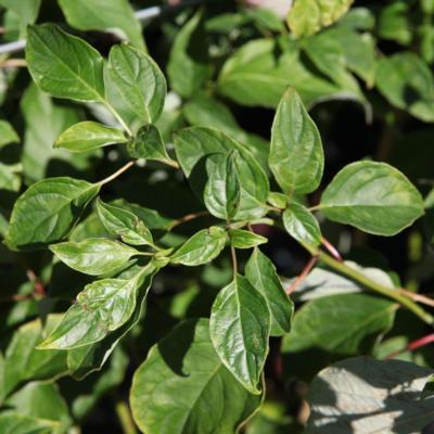 cornus-alternifolia