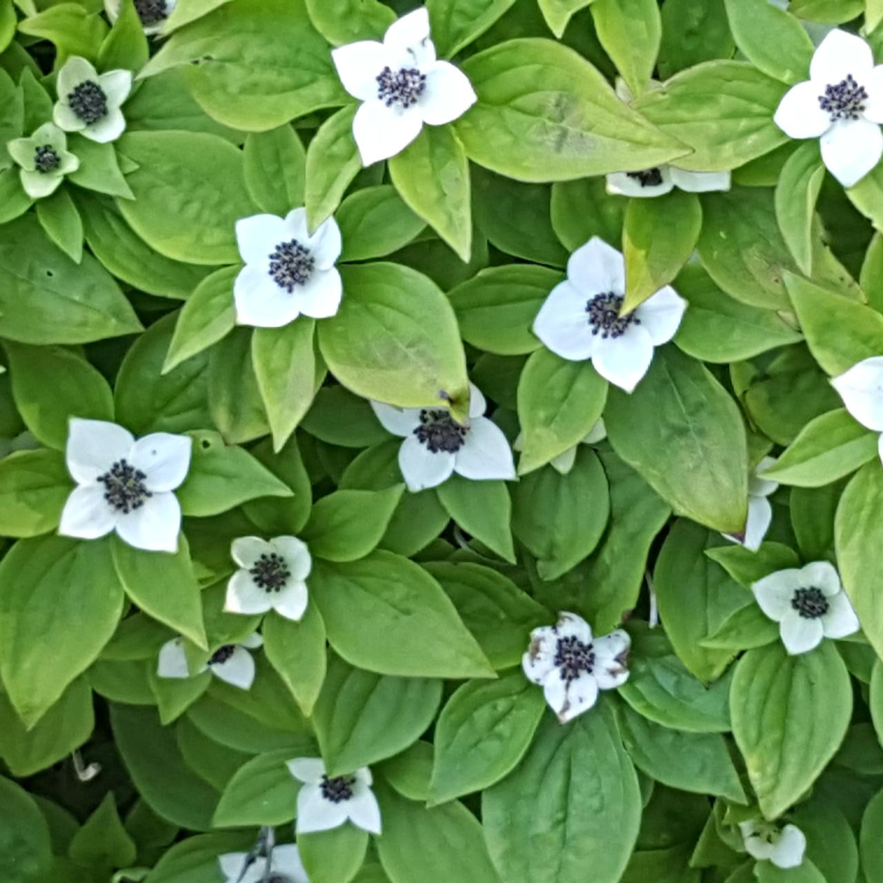 Cornus canadensis plant
