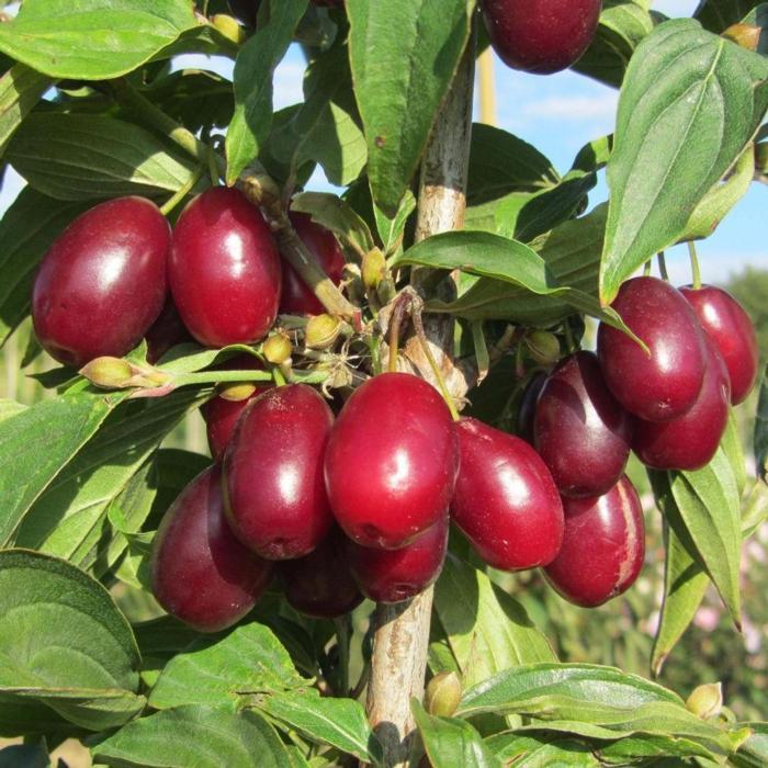 Cornus mas 'Jolico' plant