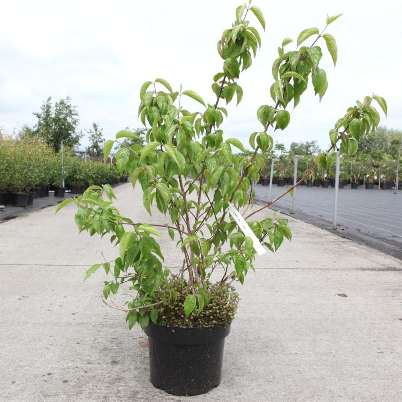 Cornus mas plant