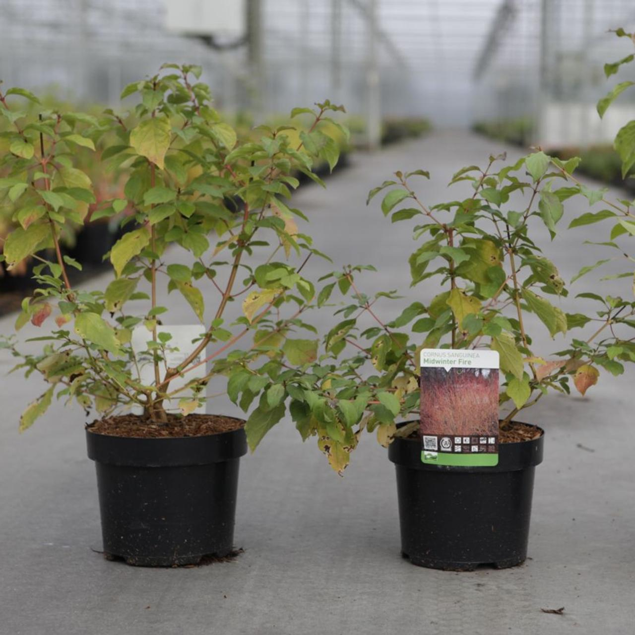 Cornus sanguinea 'Midwinter Fire' plant