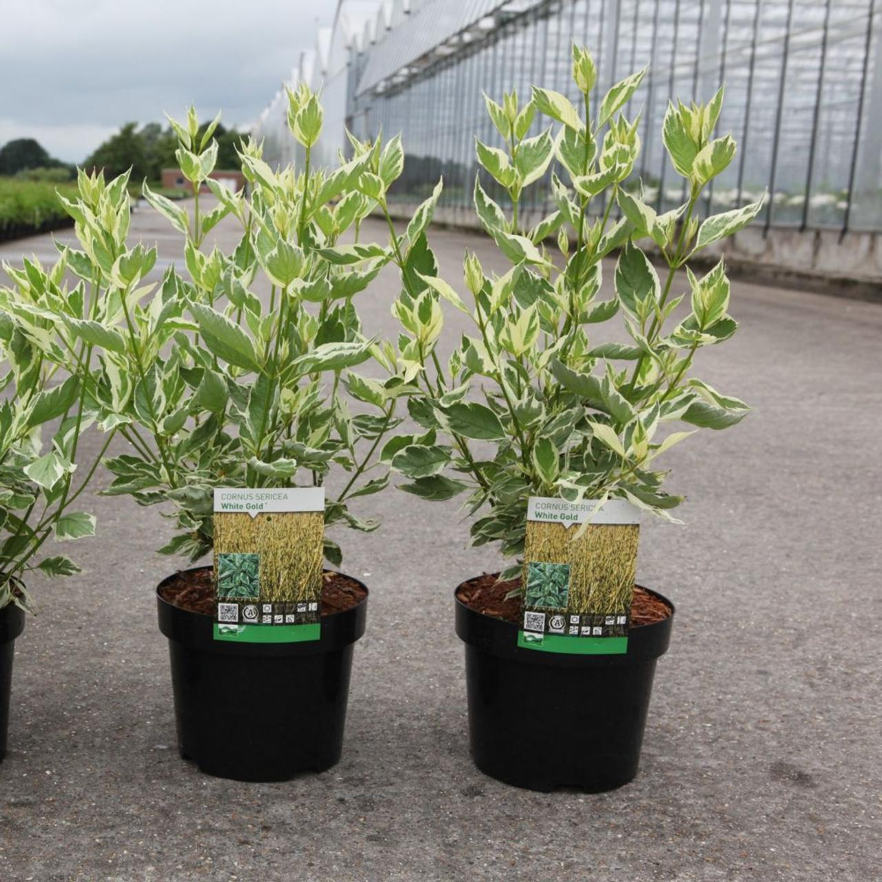 Cornus sericea 'White Gold' plant