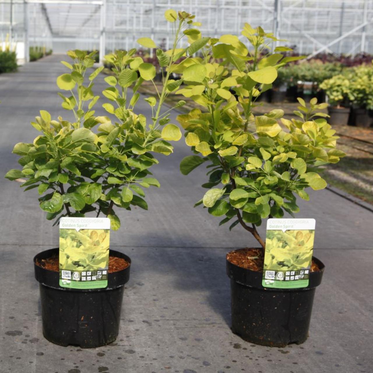 Cotinus coggygria 'Golden Spirit' plant