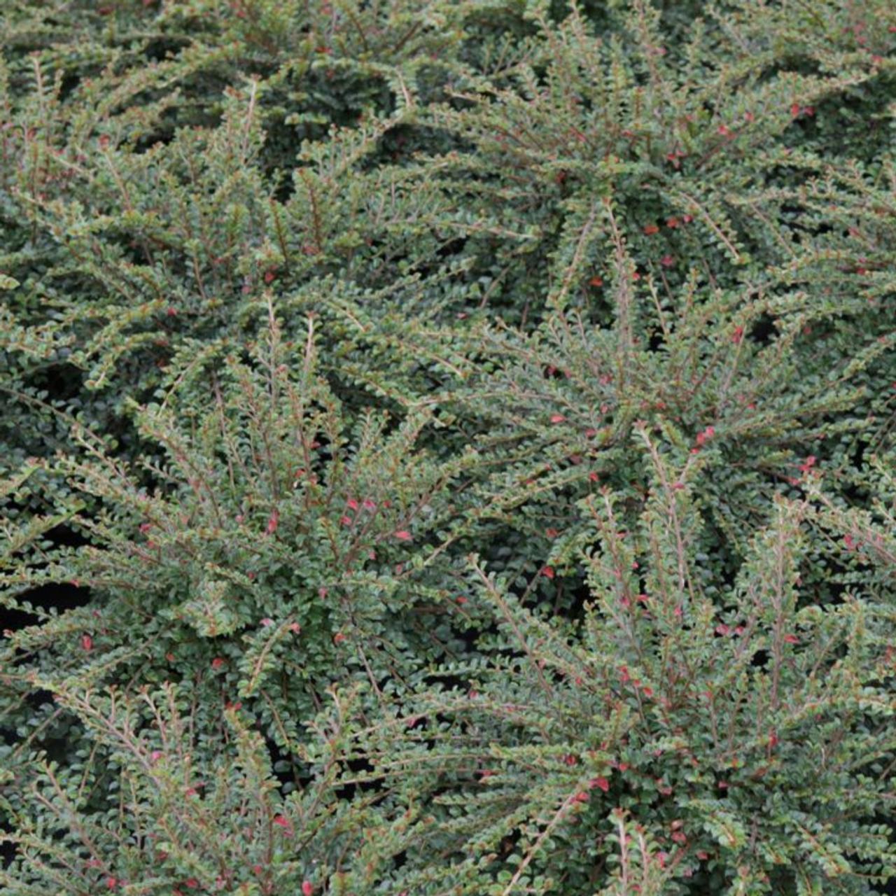 Cotoneaster adpressus 'Little Gem' plant