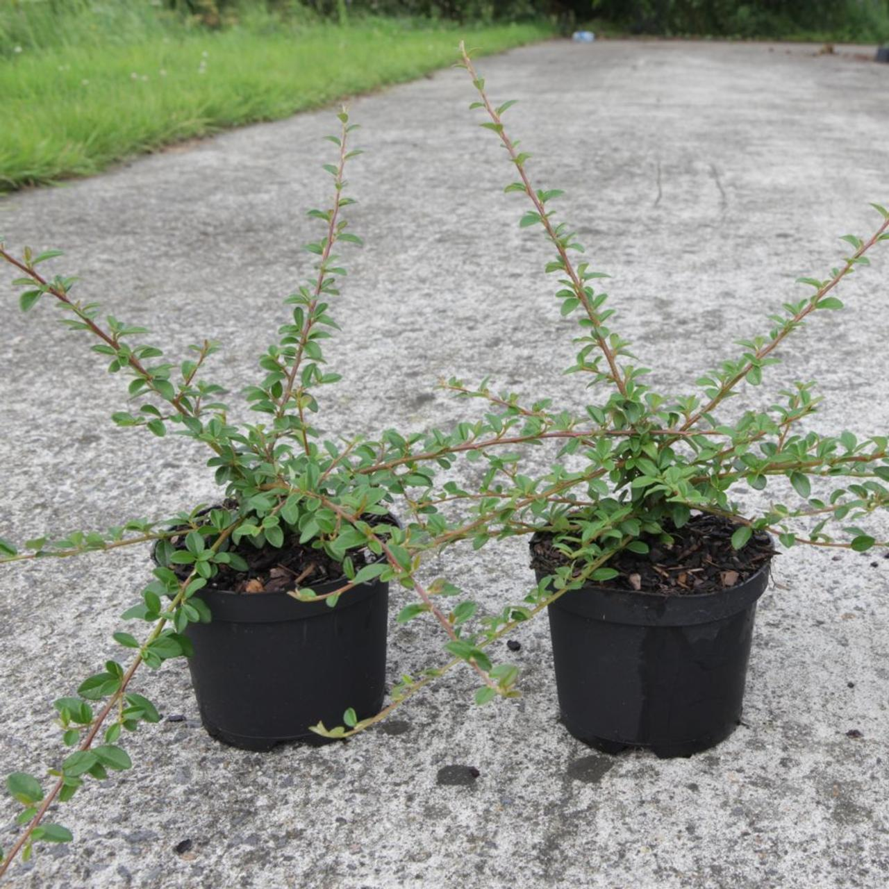 Cotoneaster 'Coral Beauty' plant