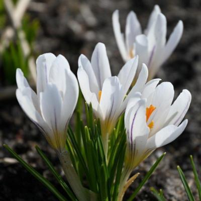 crocus-versicolor-picturatus
