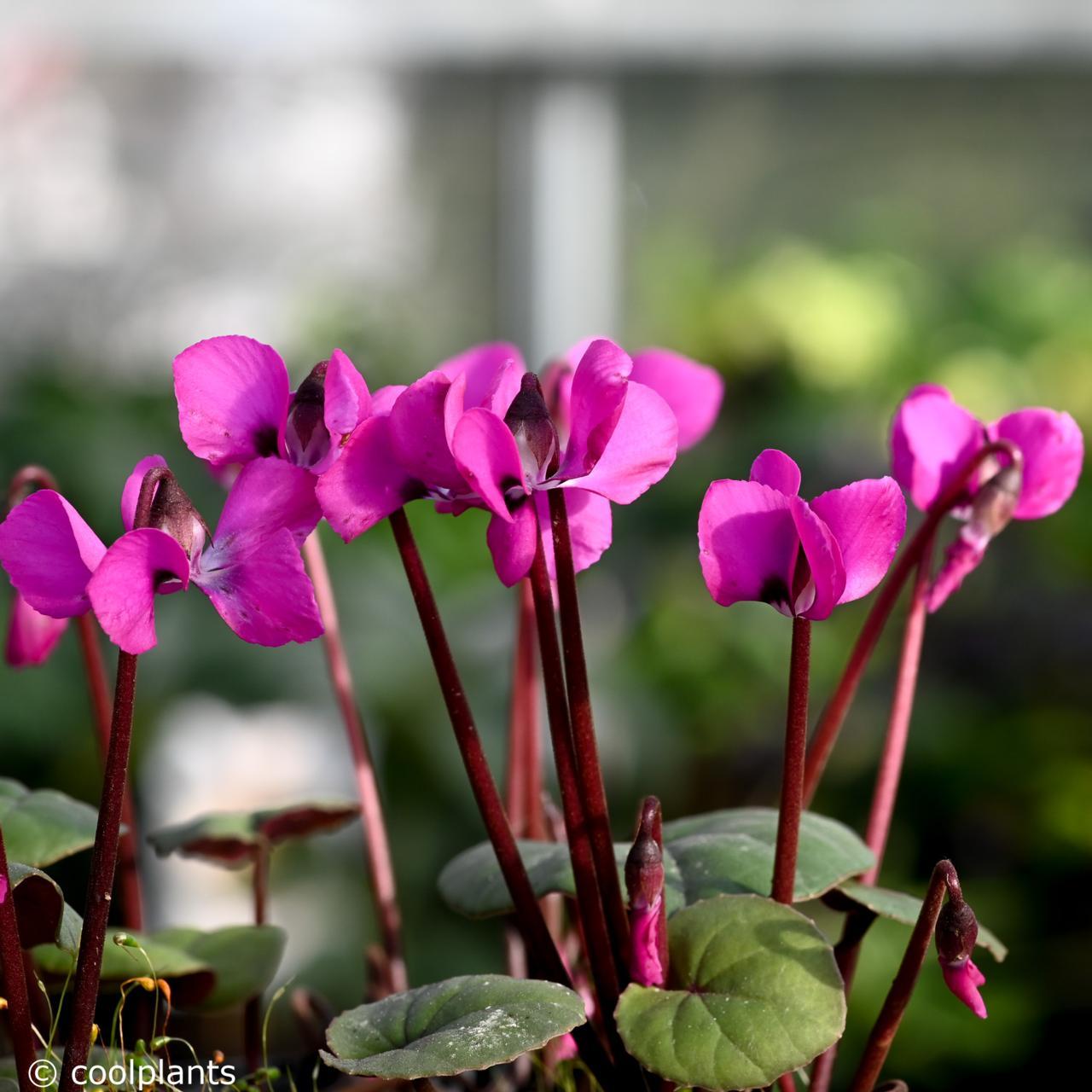 Cyclamen coum 'Ruby Star' plant