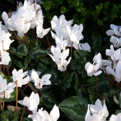 cyclamen-hederifolium-var-hederifolium-f-albiflorum