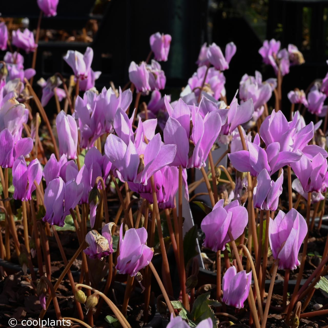 Cyclamen hederifolium plant