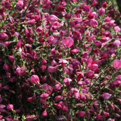 cytisus-boskoop-ruby