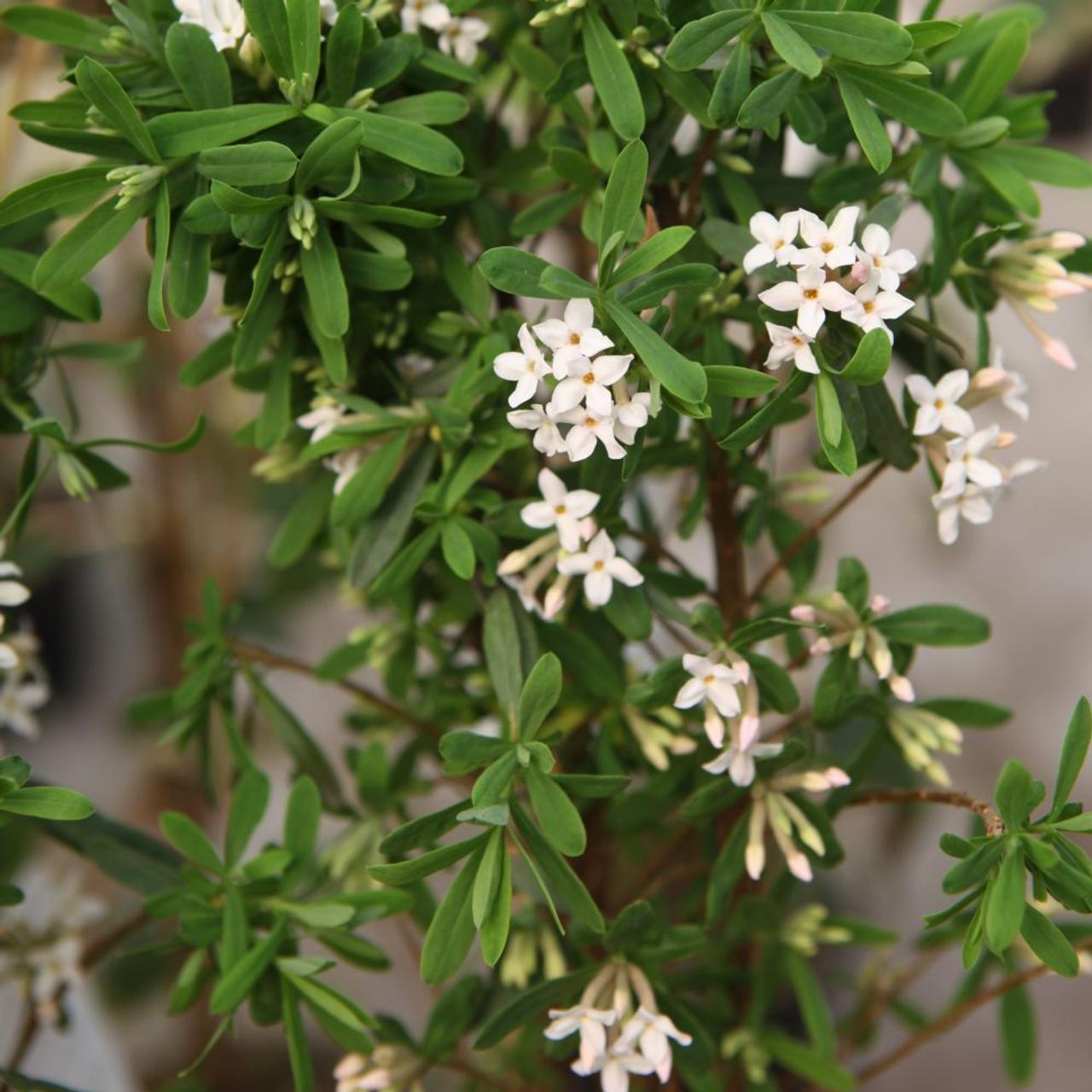 Daphne burkwoodii 'Somerset' plant