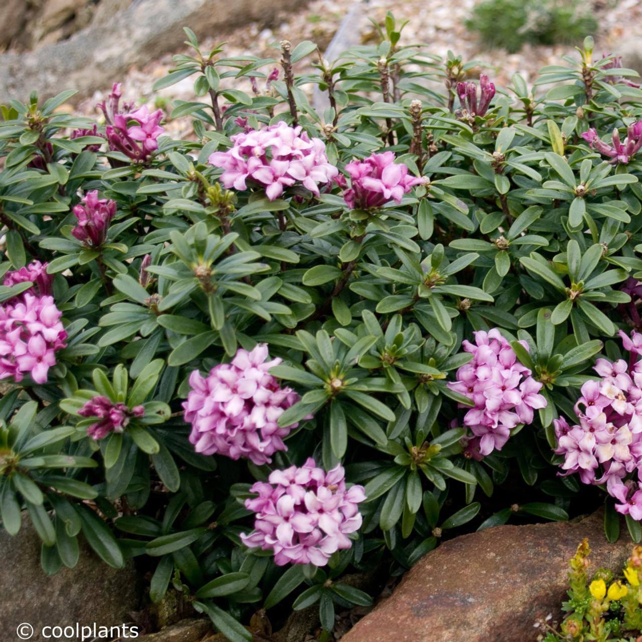 Daphne x  rollsdorfii 'Wilhelm Schacht' plant