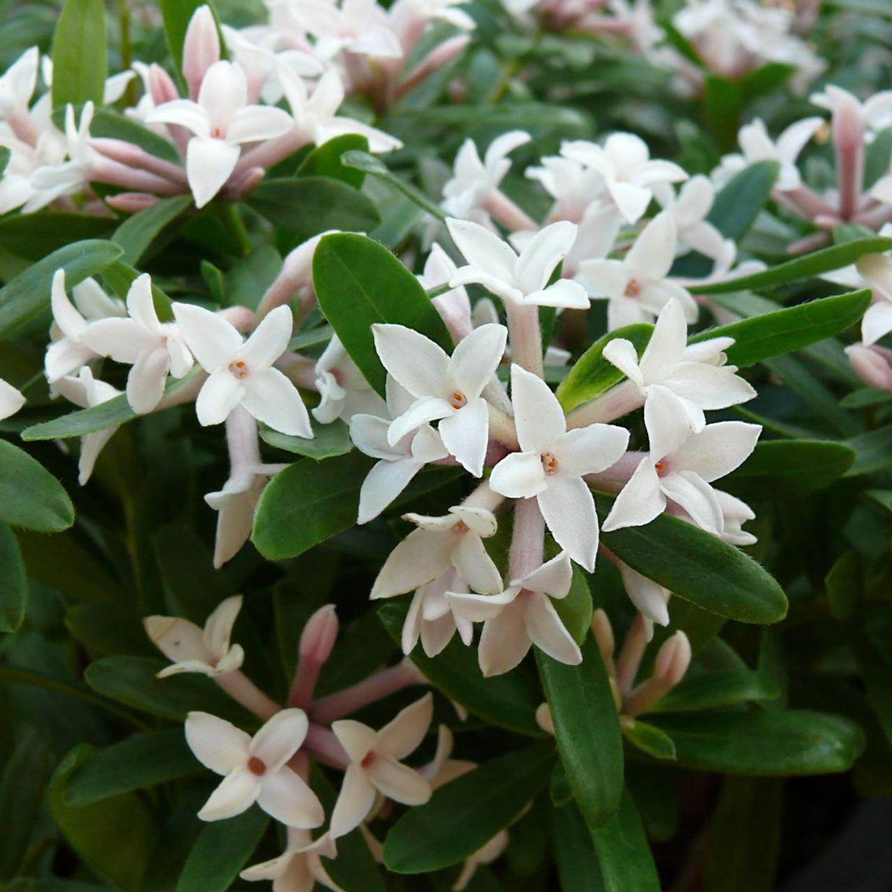 Daphne x transatlantica 'Eternal Fragrance' plant